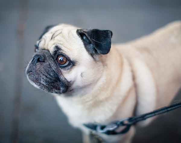What Are The Purpose Of Pugs Today?