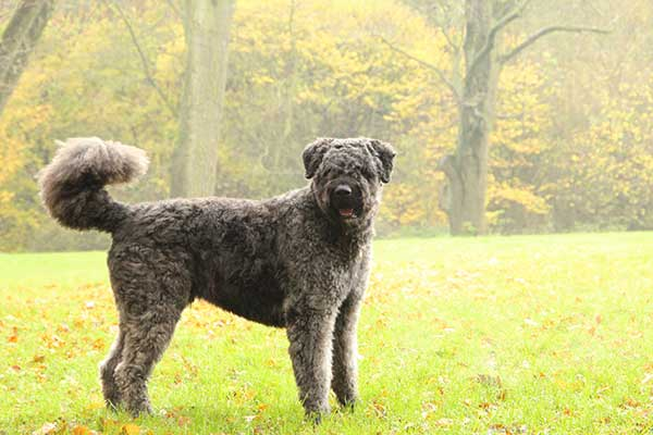 Bouvier des Flandres dog outside in the grass