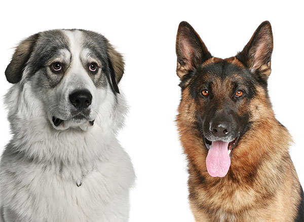 German Shepherd Great Pyrenees Mix Guide