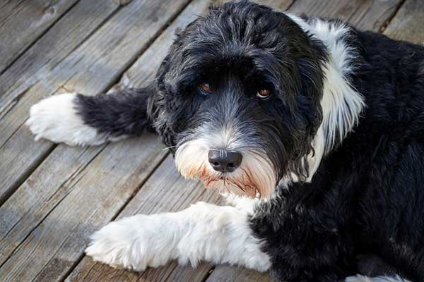 Black and White Cute Portuguese Water Dog