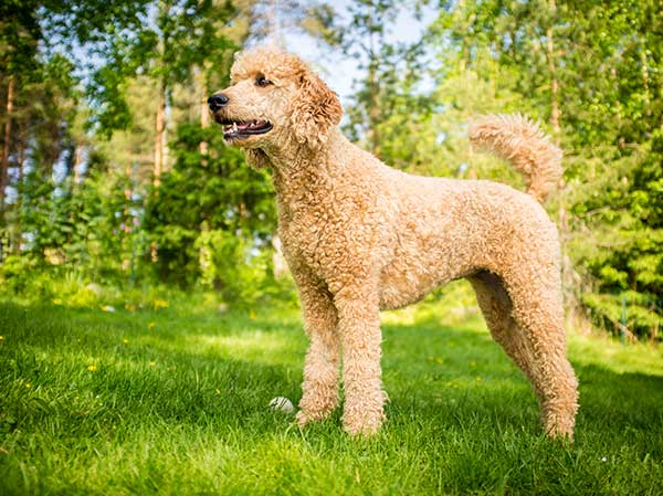 Standard Poodle in the Summer