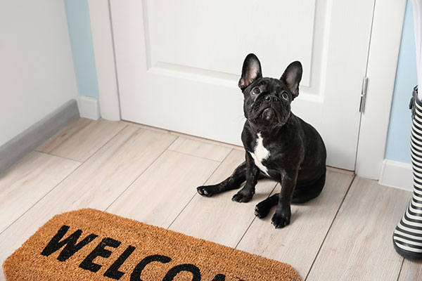 Black French Bulldog waiting near the door