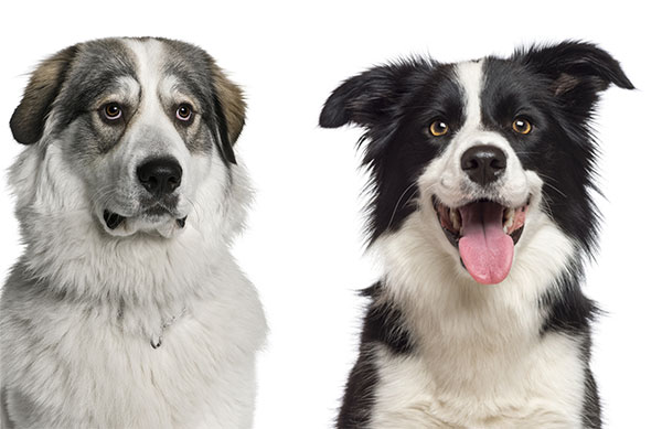 Great Pyrenees Border Collie Mix