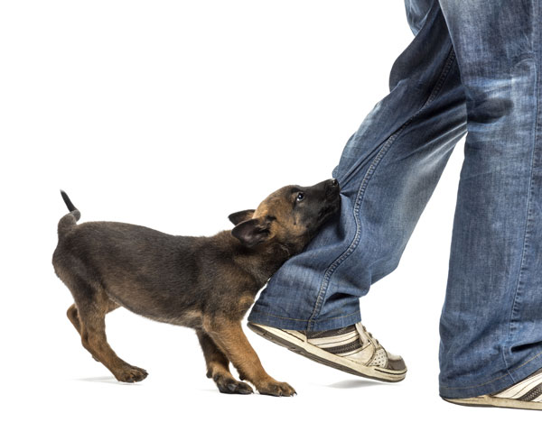 Why Does My Dog Bite My Ankles When I Walk?