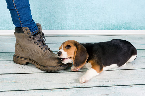 Beagle puppy biting owner's foot