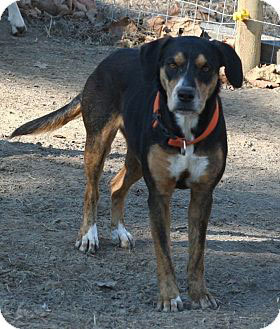 Rat Terrier mixed with Rottweiler dog
