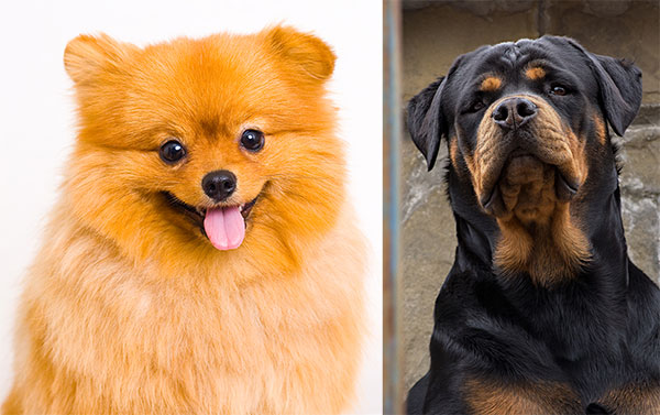 what does a Pomeranian Rottweiler Mix look like?