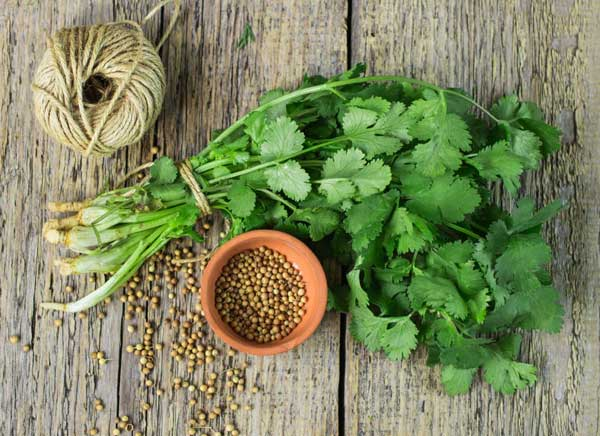 How to Feed Your Dog Cilantro?