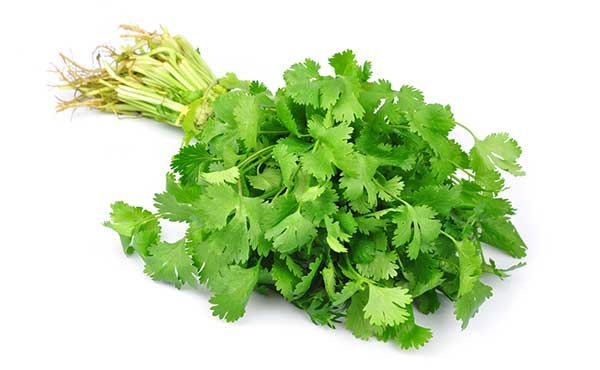 is cilantro safe for dogs?