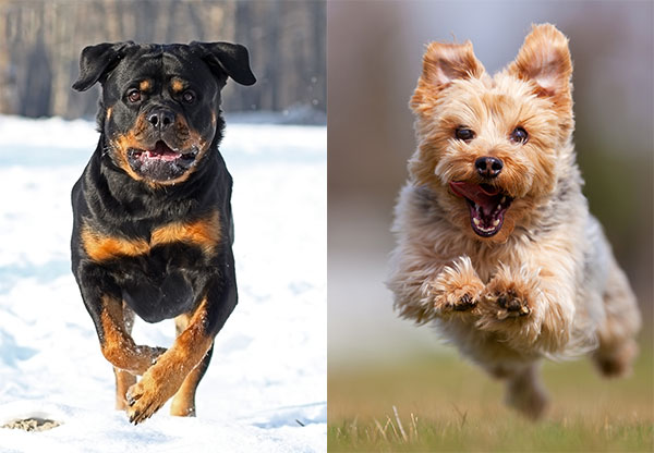 Rottweiler and Yorkie Dogs
