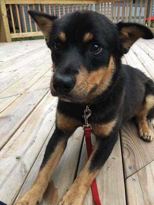 Shiba Inu mixed with Rottweiler
